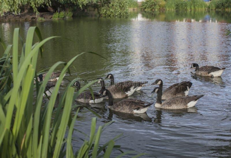 Primavera a Londra; uno stagno con nuoto delle anatre fotografia stock