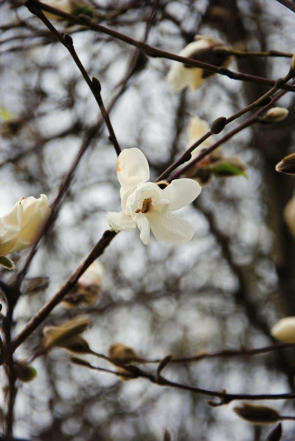 Primavera, los primeros árboles florecientes fotografía de archivo