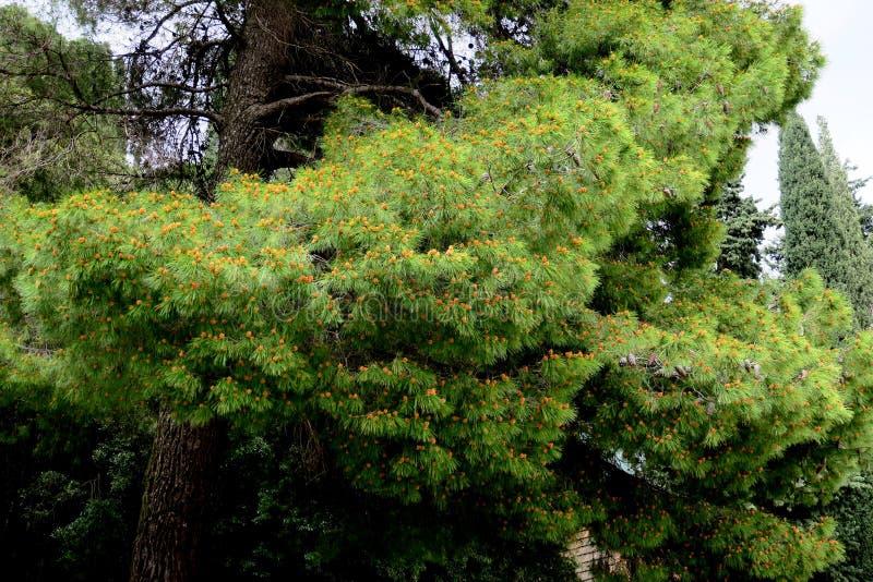 primavera na floresta com as árvores em que os cones crescem fotos de stock royalty free