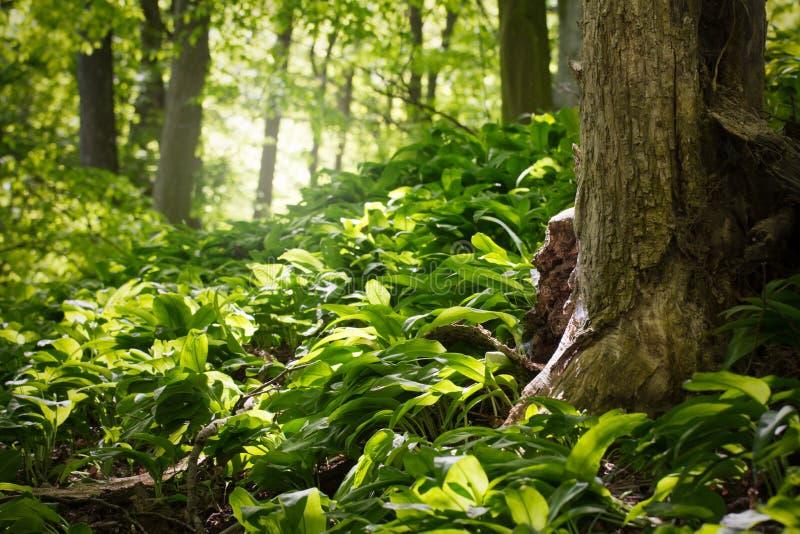 primavera na floresta verde imagens de stock royalty free