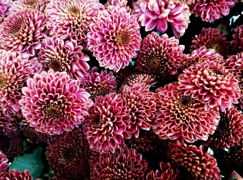 primavera no fundo com flores da mola dahlias imagens de stock royalty free