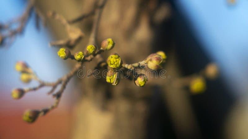 A primavera nos brincos da floresta floresceu em uma árvore fotografia de stock