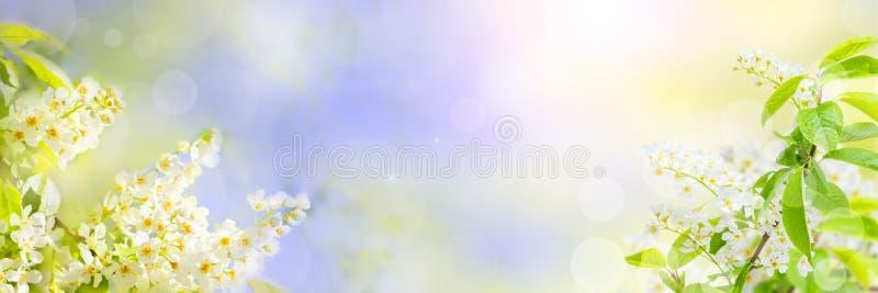Primavera o fondo floreale di estate con i fiori di ciliegia bianchi dell'uccello e il bokeh luminoso immagini stock