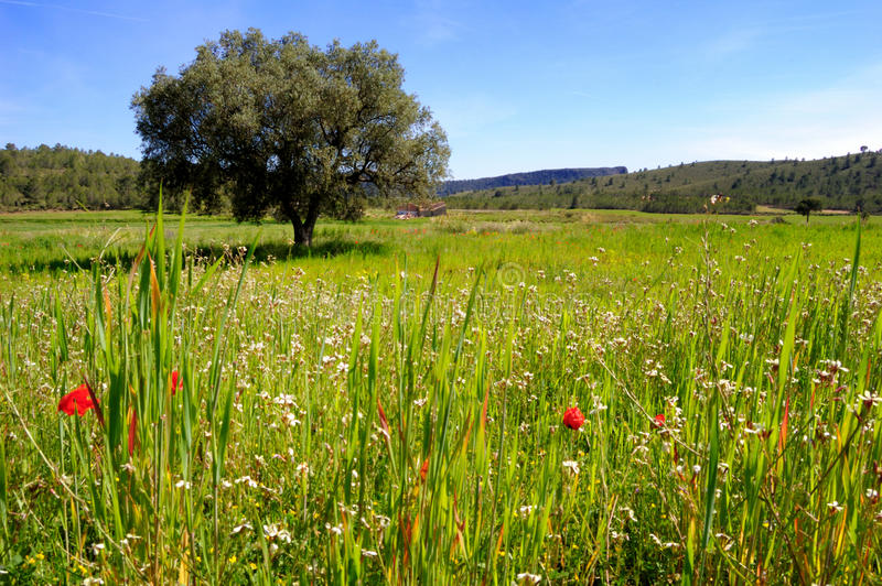 Primavera: oliveira e wildflowers velhos fotos de stock royalty free