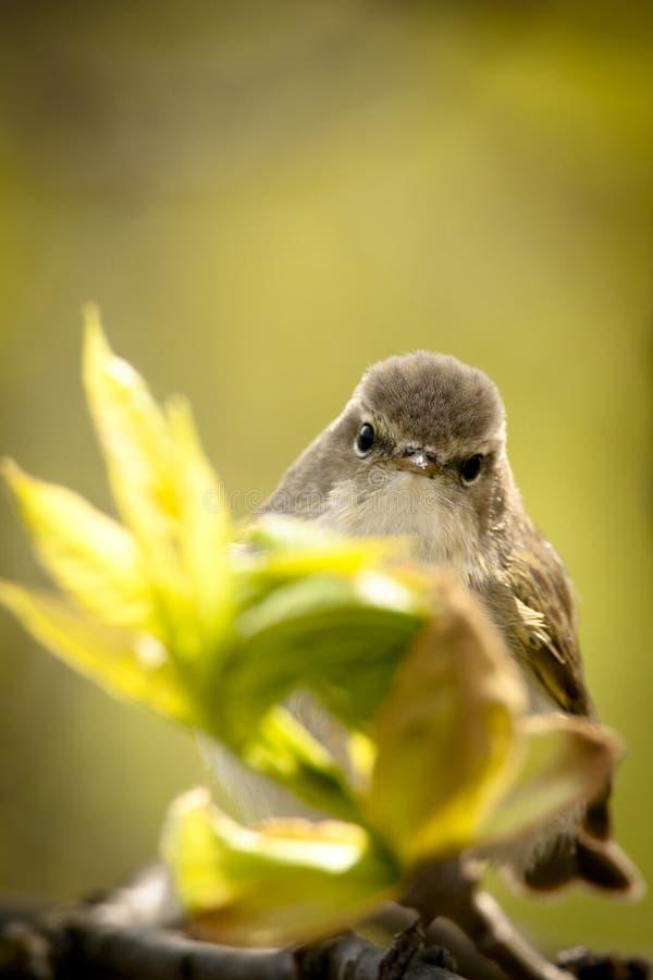 Primavera pájaro-que mira Chiffchaff común imagenes de archivo