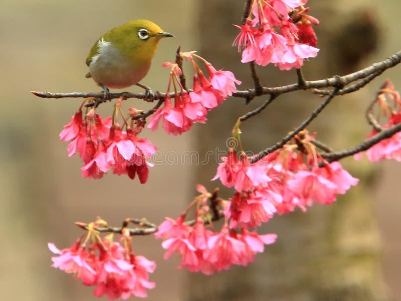 Primavera, pájaros y flores, y flores de plata verde oscuro de los ojos imágenes de archivo libres de regalías