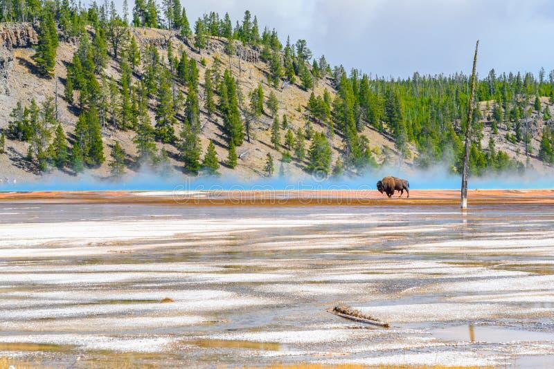 Primavera prismatica dell'incrocio del bisonte grande nel parco nazionale di Yellowstone fotografie stock libere da diritti