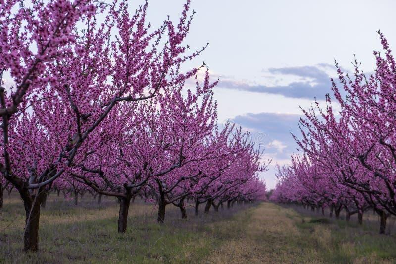 Primavera que florece el jardín rosado del melocotón Vista increíble de filas delgadas de árboles florecientes rosados imagen de archivo
