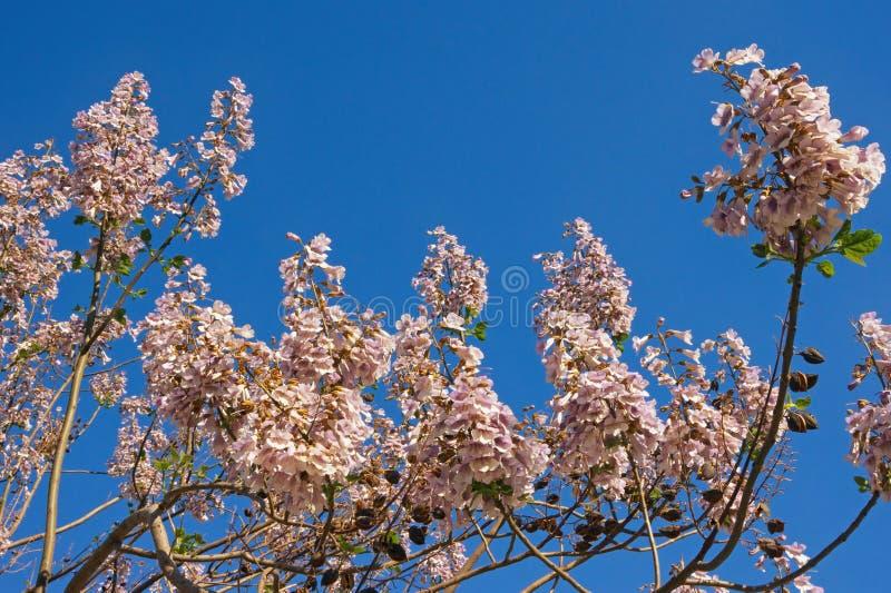 primavera Ramos da árvore de florescência do tomentosa do Paulownia contra o céu azul imagem de stock royalty free