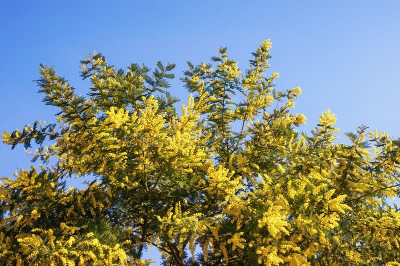 primavera Ramos da árvore do dealbata da acácia com as flores amarelas brilhantes contra o céu azul foto de stock royalty free