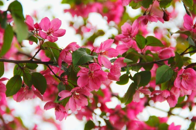 Primavera Ranet floreciente foto de archivo