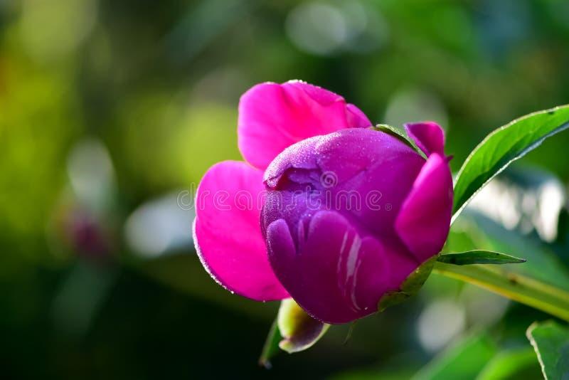 Primavera rosada de la floraci?n de la flor de la peon?a en un fondo del verdor en el jard?n por ma?ana caliente y soleada imagen de archivo libre de regalías