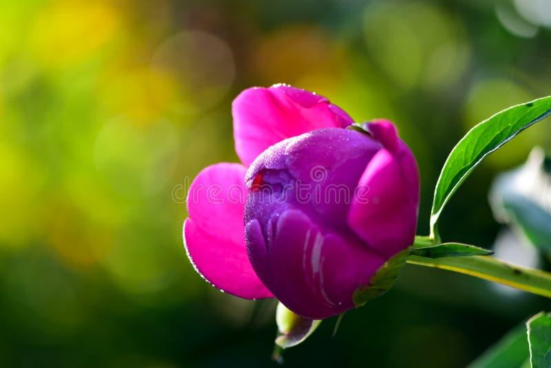 Primavera rosada de la floraci?n de la flor de la peon?a en un fondo del verdor en el jard?n por ma?ana caliente y soleada fotografía de archivo