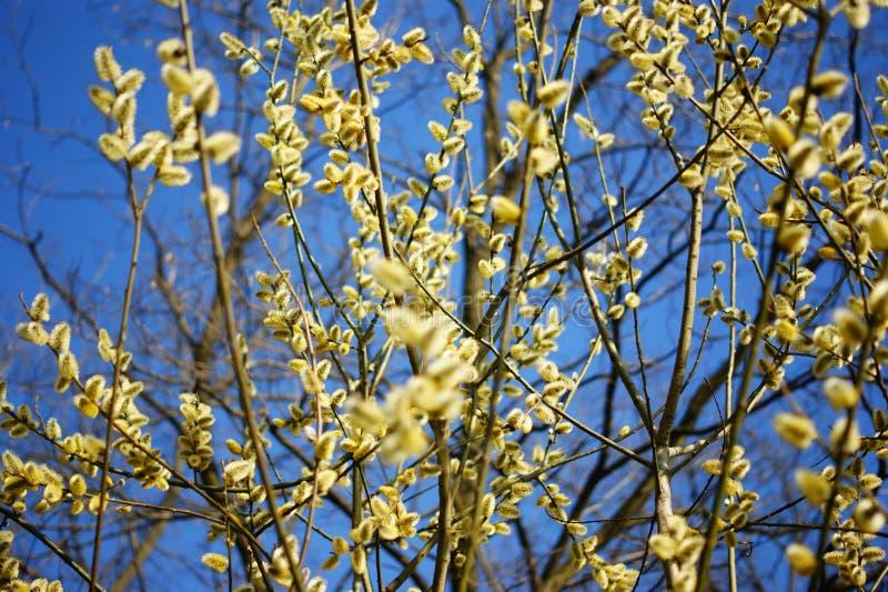 Primavera, salice di fioritura contro il cielo blu fotografia stock