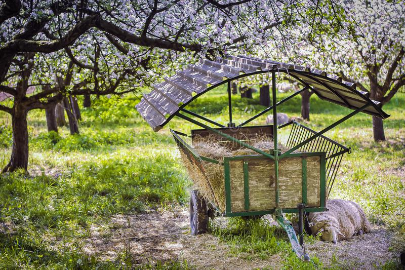 Primavera, sueños jovenes de una oveja fotos de archivo libres de regalías