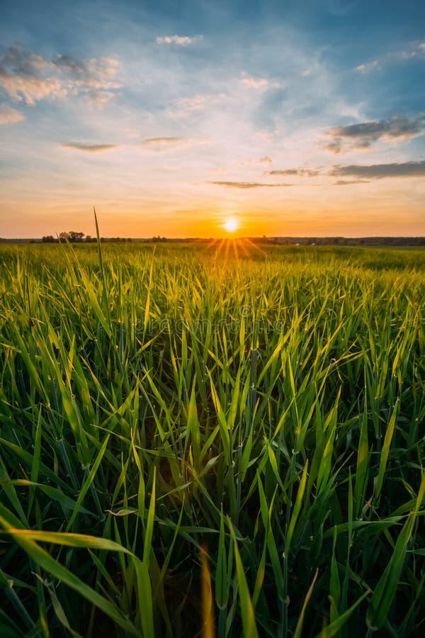 Primavera Sun que brilla sobre paisaje agrícola del campo de trigo verde imagen de archivo
