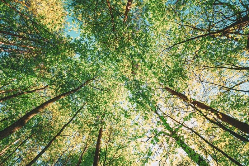 Primavera Sun que brilla a través del toldo del bosque de los árboles altos Luz del sol en el bosque, naturaleza del verano Ramas foto de archivo