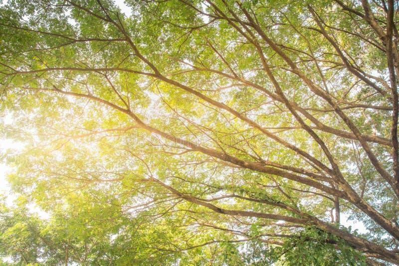Primavera Sun que brilla a través del toldo de árboles altos Ramas superiores imágenes de archivo libres de regalías