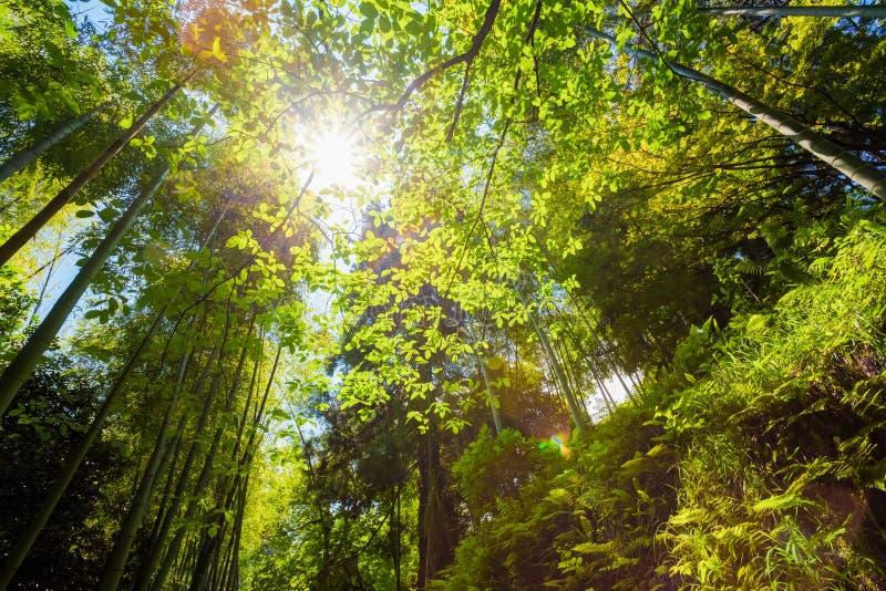 Primavera Sun que brilla a través del toldo del bosque del bambú de los árboles altos Su fotos de archivo
