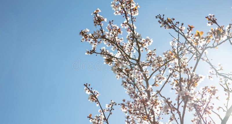 primavera, tempo de easter Árvore de amêndoa que floresce no céu azul claro, dia ensolarado imagem de stock royalty free