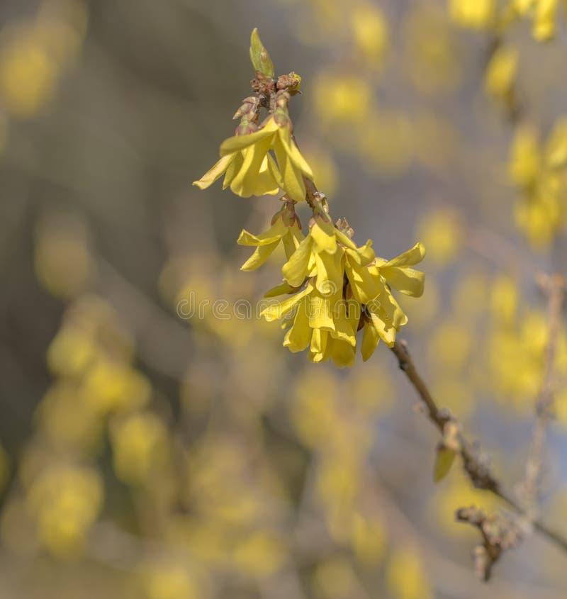 Primavera temprana del flowersin de la forsythia Forsythia floreciente en la huerta Bokeh imágenes de archivo libres de regalías