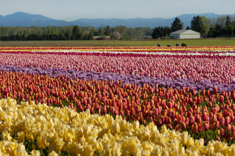 primavera Tulip Fields fotos de stock royalty free