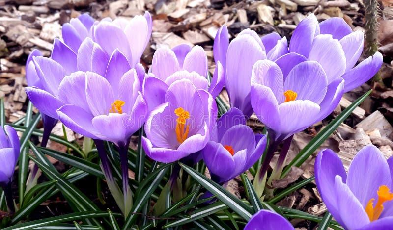 primavera Un grupo de azafrán violeta foto de archivo libre de regalías