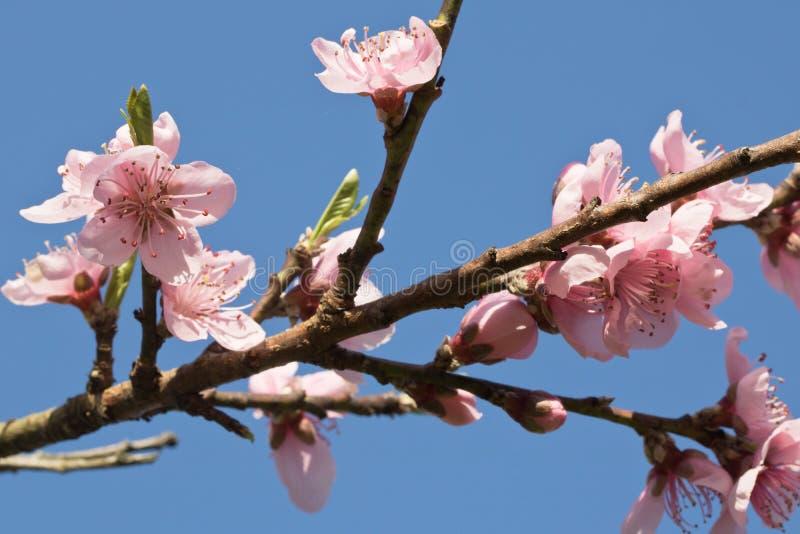 Primavera vicina su di bello fiore di fioritura rosa dell'albero di nettarina con i petali fotografia stock