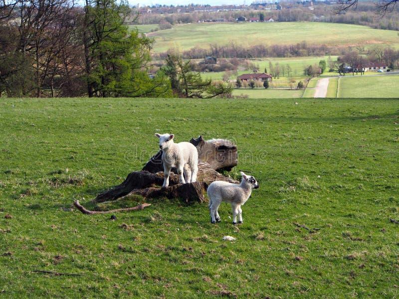 Primavera y pequeños corderos imagen de archivo
