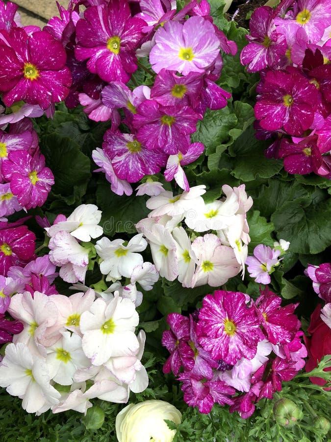 Primaverine di fioritura adorabili e variopinte fotografie stock