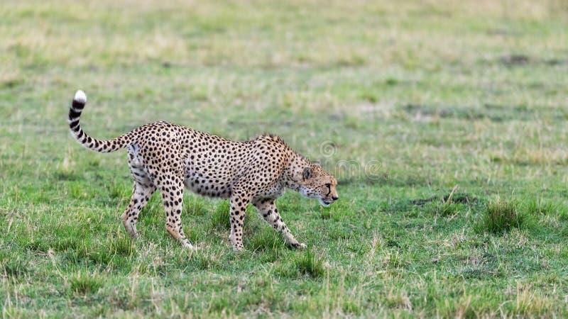 Prime adult male cheetah in the Masai Mara. Prime adult male cheetah, acinonyx jubatus, moves stealthily through the Masai Mara, Kenya royalty free stock images