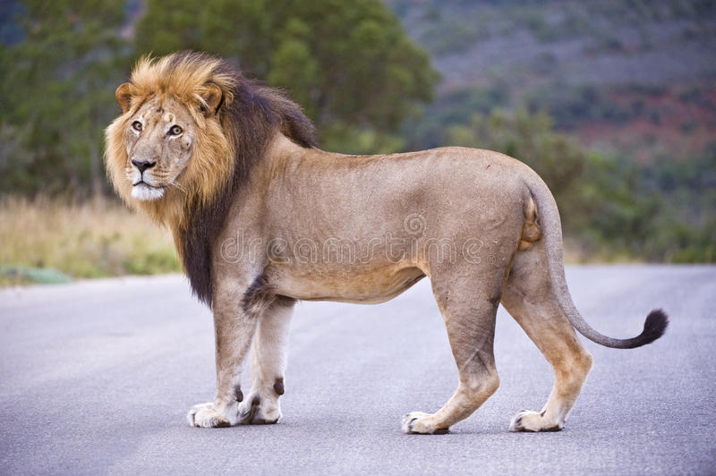 Prime Male Lion stock image. Image of muscular, stare ...