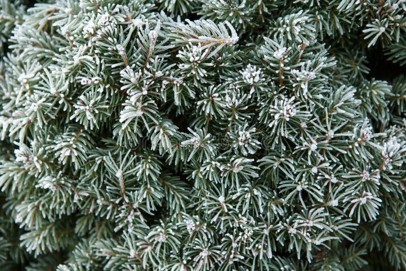 A primeira árvore da geada coberta com a geada imagem de stock royalty free