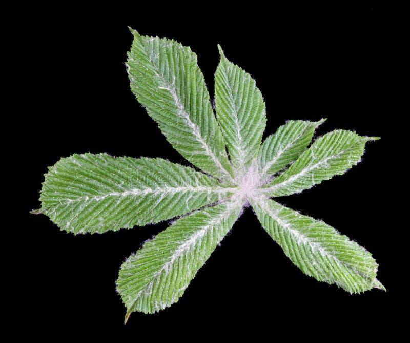 A primeira castanha nova da folha da mola coberta com o fluff branco protetor isolado fotos de stock royalty free