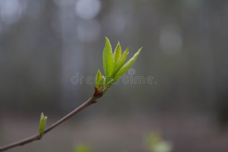 A primeira folha da mola, natureza vem à vida imagem de stock