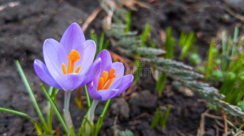 A primeira introdução de flores, açafrões violetas, snowdrops foto de stock royalty free