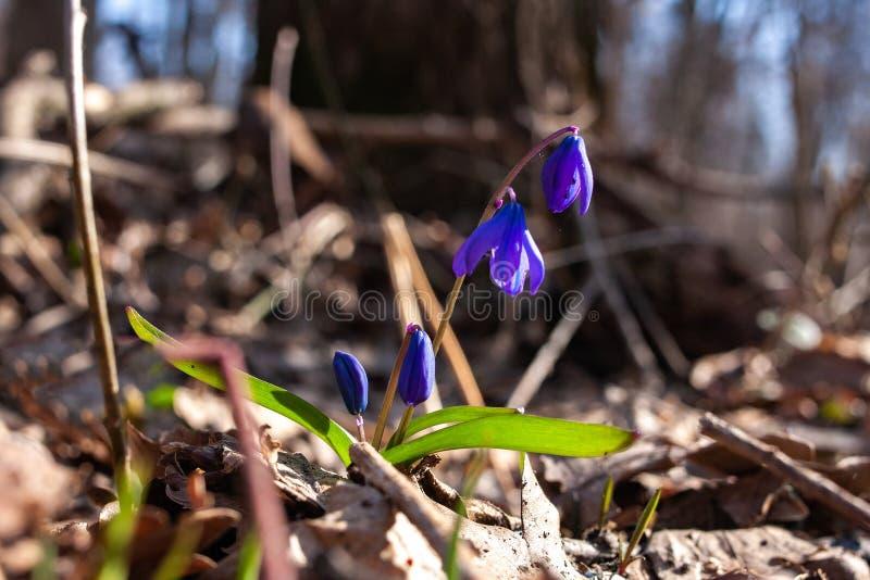 A primeira mola floresce snowdrops azuis foto de stock royalty free