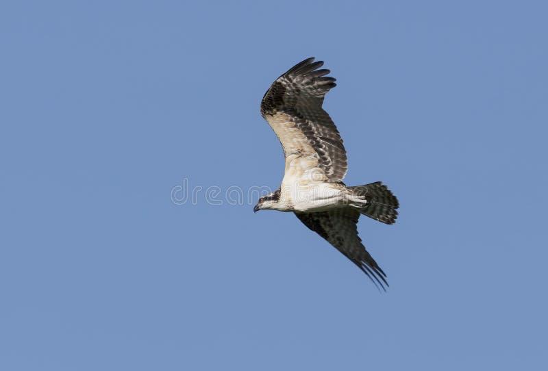 Primeira mosca A águia pescadora nova pela primeira vez saiu do ninho e voou acima da paisagem imagens de stock