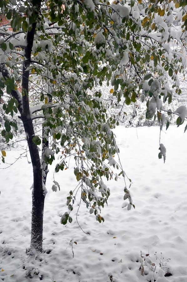 Primeira neve branca em leaves_2 verde imagens de stock