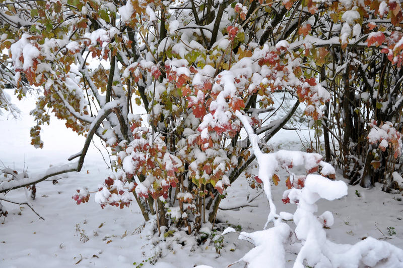 Primeira neve branca em leaves_5 verde fotografia de stock