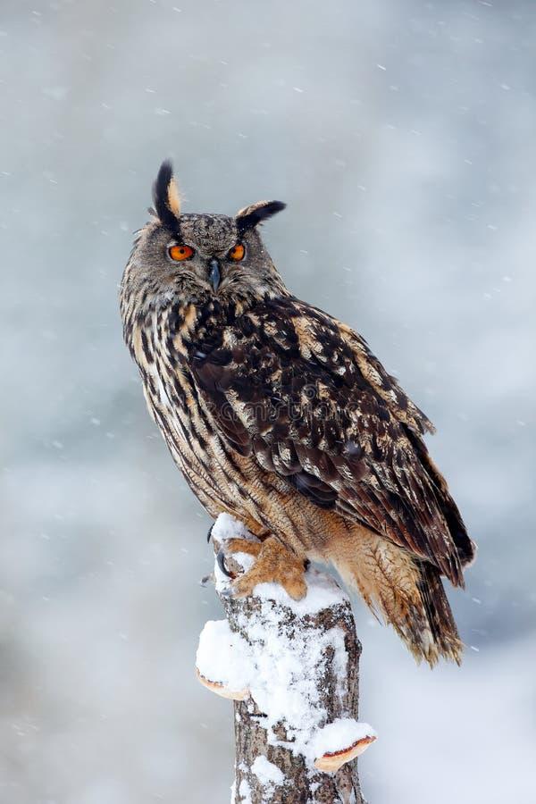 Primeira neve com pássaro inverno com a coruja bonita branca grande Cena dos animais selvagens da natureza nevado Tempestade da n fotografia de stock