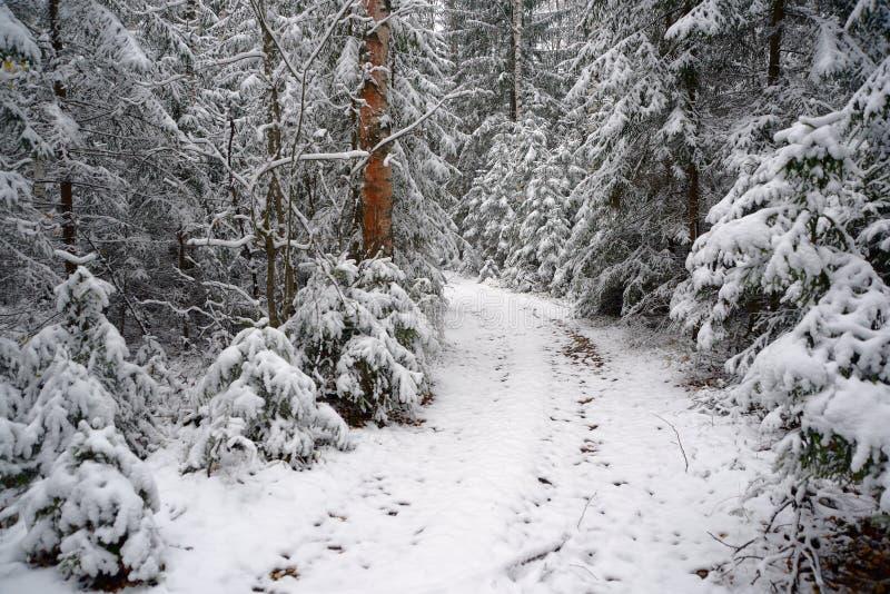 Primeira neve na floresta foto de stock