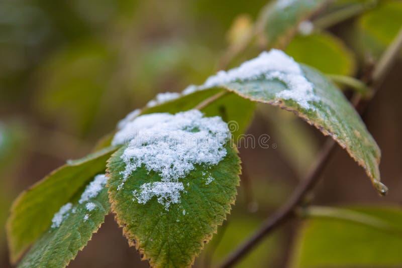 A primeira neve nas folhas de outono de framboesas selvagens no fim da floresta imagem de stock royalty free
