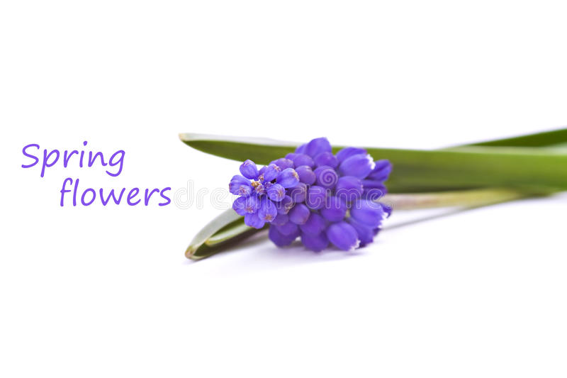 Primeiras flores azuis das molas fotografia de stock