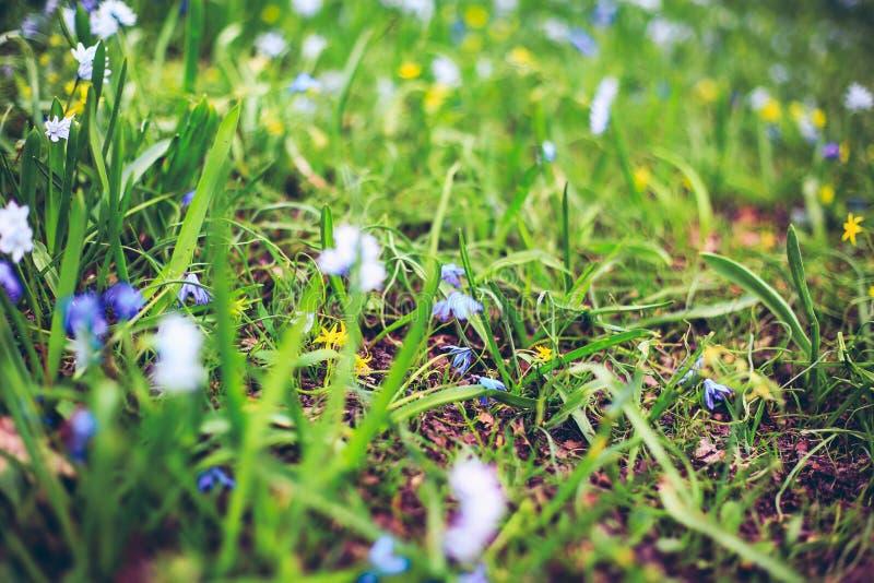 Primeiras flores azuis na mola foto de stock