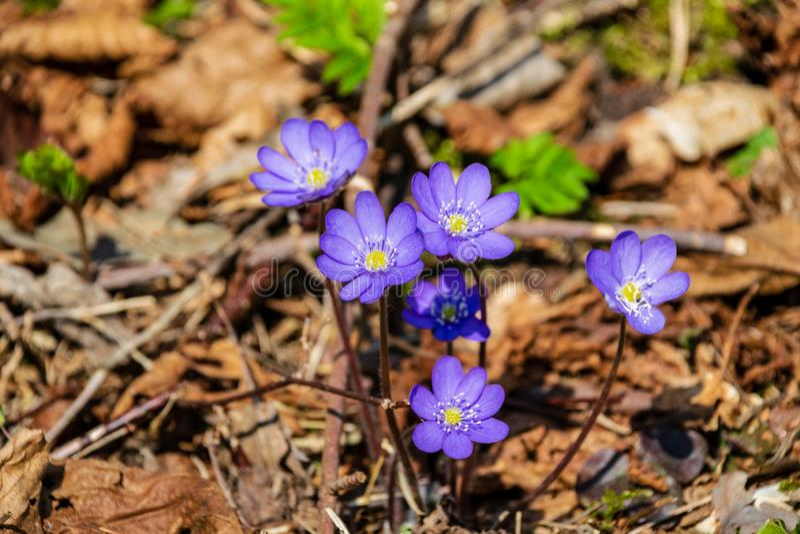 primeiras flores azuis que florescem na floresta da mola imagens de stock royalty free