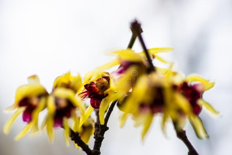 Primeiras flores da mola fotografia de stock royalty free