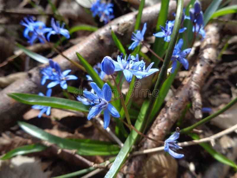 Primeiras flores da mola na floresta ensolarada fotografia de stock royalty free