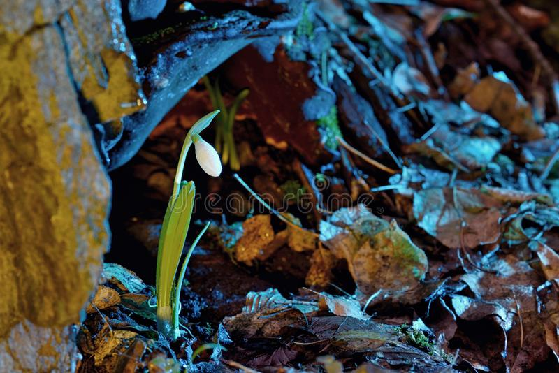 Primeiras flores da mola, snowdrops na floresta fotos de stock