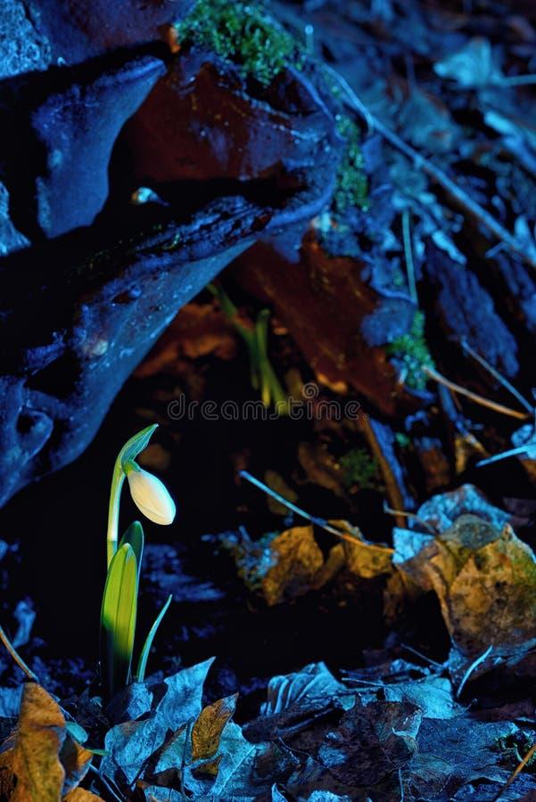 Primeiras flores da mola, snowdrops na floresta foto de stock